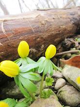 Photo: Little yellow flowers by a fallen log at Wegerzyn Park in Dayton, Ohio.