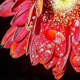 Raindrops on flower by Ashley Petersen - Uncategorized All Uncategorized ( red, daisy )
