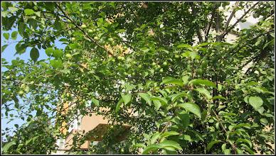 Photo: Corcoduși (Prunus cerasifera) - De pe Calea Victoriei, Nr.7 - 2016.06.05