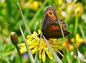 Photo: Graubindiger Mohrenfalter (Erebia aethiops), auch Waldteufel genannt, oder Rundaugen-Mohrenfalter (Erebia medusa) 1