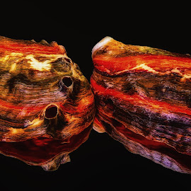 Albaloni Shells by Dave Walters - Nature Up Close Other Natural Objects ( artistic objects, nature, sea shells, lumix fz2500, colors )