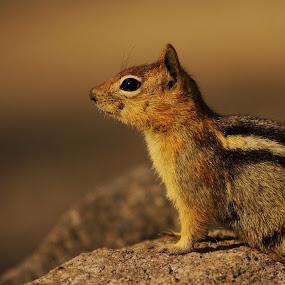 Ground Squirrel Sentry by Andrew Johnson - Animals Other Mammals