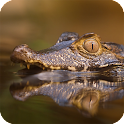 Alligator Live Wallpaper icon