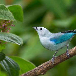 Blue-Grey Tanagerphotoshoplensdenoisesharpen-001.jpg