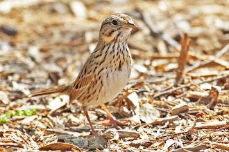 Photo: Lincoln's Sparrow
