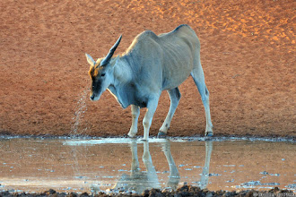 Photo: Unicorn... An Eland with only one horn at the Haak en Steek waterhole, Mokala National Park. The night before we heard them hitting heads. The place where the horn broke off was obviously sore as he kept on soothing it in the water.