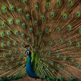 Paon by Boutheina Ferid - Animals Birds ( bird, animal portrait, colors, feathers, peacock )