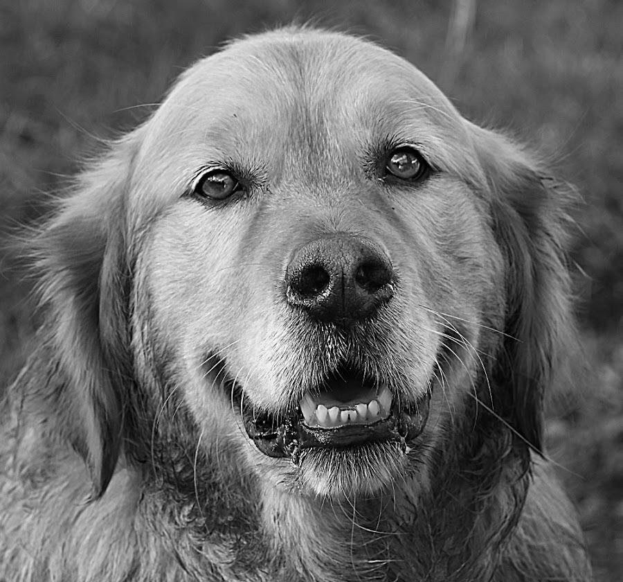 Isaac by Chrissie Barrow - Black & White Animals ( labrador retriever, monochrome, black and white, pet, fur, ears, grey, dog, mono, teeth, nose, portarit, eyes, animal )