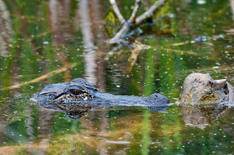 Photo: Alligator - Aransas NWR
