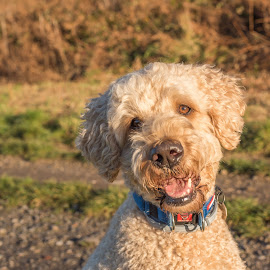 Smile by Janet Packham - Animals - Dogs Portraits ( dogs, canine, cute, labradoodle, pet, funny, smile )