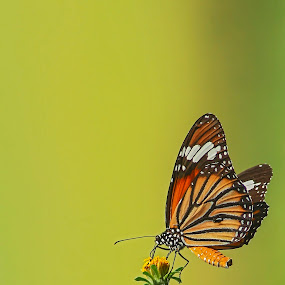 perch by Rusman Budi Prasetyo - Animals Other ( animal, butterfy,  )
