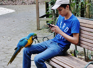 Photo: Gelbbrusta​ra (Ara ararauna, Blue and Gold Macaw) m Freigehege des Macaw Mountain Bird Park in Copán.