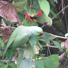 ringed parakeet