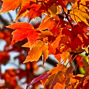 Color Before Blue Skies by Susan Farris - Nature Up Close Leaves & Grasses ( orange, red, pwcfallleaves, tree, maple-tree, leaves, nature, fall, autumn, abscission, folliage, leaf,  )