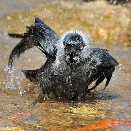 Take a bath by Tomasz Budziak - Animals Birds ( animals, birds )