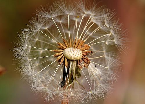 crested dandelion by Michel Lapensée - Nature Up Close Other plants ( dandelion )
