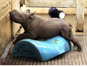 Photo: Male eastern black rhinoceros Zuri plays on a plastic barrel at the Cleveland Metroparks Zoo on Aug. 3, 2012. The calf was born July 1 at the zoo. (Lisa DeJong, The Plain Dealer)