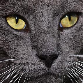 Drake by Michael Cowan - Animals - Cats Portraits (  )