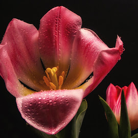 Pink Tulips by Dave Walters - Flowers Flower Arangements ( colors, enchanting, flowers, pink tulips, lumix fz2500,  )
