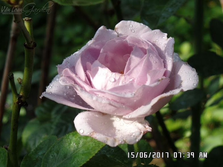 Về màu sắc hoa hồng Blue Storm khi trồng ở Sa Đéc, hoa vẫn màu tím nhạt