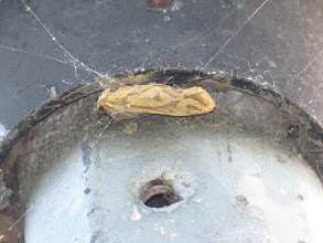 Photo: 1 Jul 13 Priorslee Lake: Neatly wrapped by a spider but still identifiable as a the humuli (yellow) form of Ghost Moth (so Hepialus humuli humuli). (Ed Wilson)