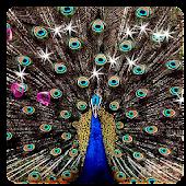 Peacocks 3D LWP