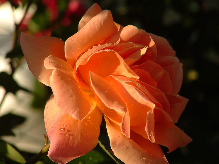 from home by Alex Mami - Nature Up Close Flowers - 2011-2013 ( goccia acqua, rosa,  )