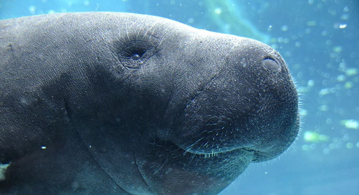Close up of a manatee