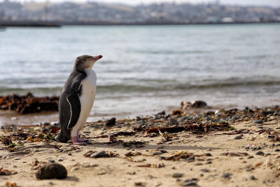 Pingwin w Oamaru - Nowa Zelandia
