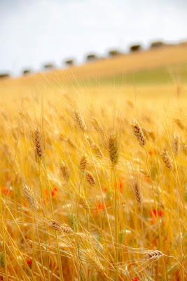 campo di pane di Giovanni Coccoli