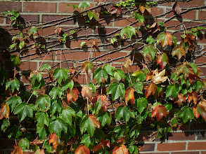 Photo: Ivy on brick wall, Sep '09.  Pentax W60.