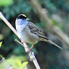 Golden-crowned sparrow (male in breeding plumage)