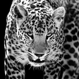 by Claudia Lothering - Black & White Animals (  )