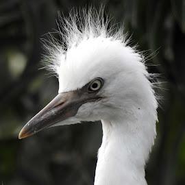 Cattle Egret by SANGEETA MENA  - Animals Birds (  )