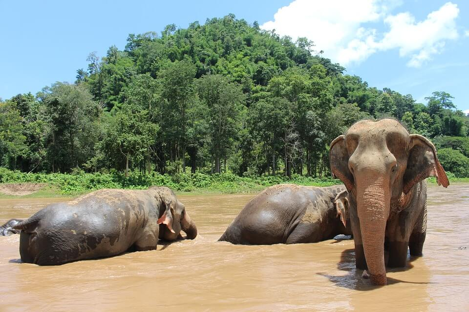 Chiang Mai Elephant Sanctuary. with three elephants bathing in river