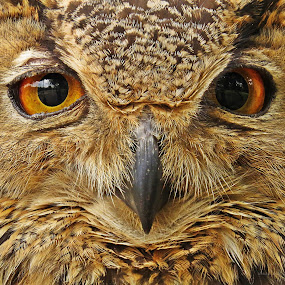 Look in to my eyes...... by Akbar Ali Asif - Animals Birds ( animals, owl eyes, nature, owl, nature up close, nature close up, beauty, dreamy eyes, horned owl, birds, owls, eyes,  )
