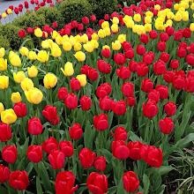 Photo: Maple Ridge Downtown Tulip Field #intercer #mapleridge #britishcolumbia #canada #flower #flowers #tulip #tulips #red #yellow #petal #green #city #beautiful #pretty #smell #color #life - via Instagram, http://instagram.com/p/Y3dpQBpfvf/