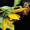 Native Sunflower
