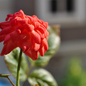 Budding flower by Shankara Narayanan - Nature Up Close Flowers - 2011-2013 ( rose, macro, red, bud, flower, closeup )