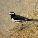 The white-browed wagtail