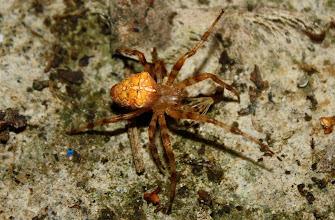 Photo: Araneus diadematus    ARACHNIDA > Araneae > Araneidae