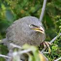 Babbler  -  Jungle Babbler