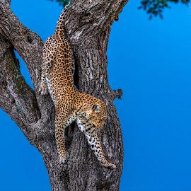 Wild beauty by Yury Loginov - Animals Lions, Tigers & Big Cats