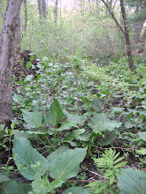 Photo: Skunk Cabbage in stream bed, 5.19