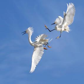 Your It by Debra Dorothy - Animals Birds ( white birds two birds egrets egrest fighting )