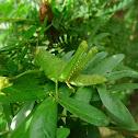 Citrus Green Locust