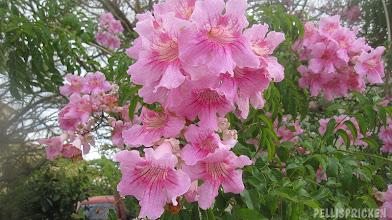 Photo: Vanlig och läcker rosa skön blomma