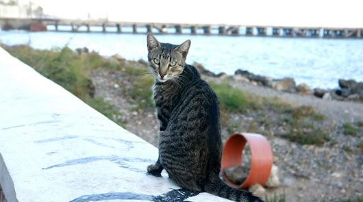 Colectivos piden que se aplique el método CER entre las colonias de gatos