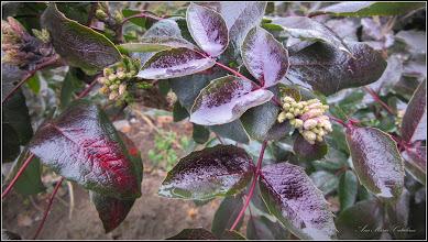 Photo: Mahonia  (Mahonia aquifolium) - din spatiul verde al Catedralei - 2019.01.09