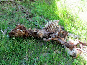 Photo: Elk carcass with antlers removed